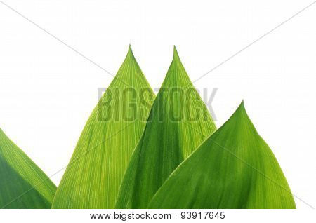 Green Leaves Of A Lily The Valley