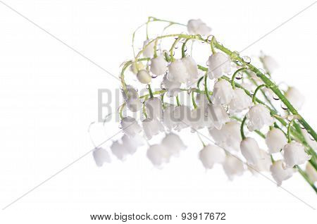 Lily Of The Valley - Convallaria Majalis