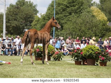 Brown Colt Foal Show