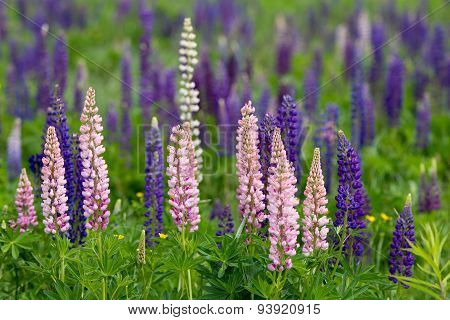 Pink, Violet, Blue And White Lupines