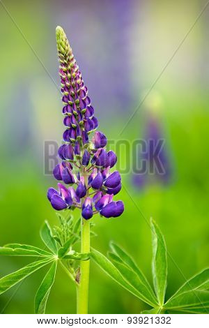 Young Violet Lupine