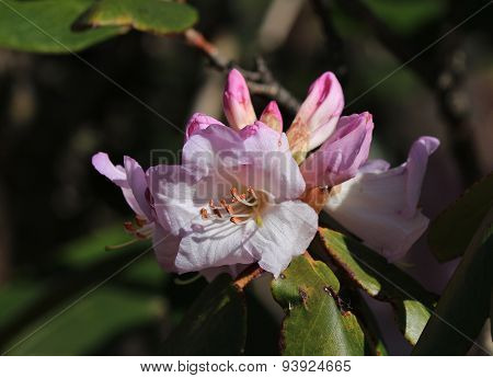Pink Rhododendron Flower, Wildflower Growing In The Everest Region