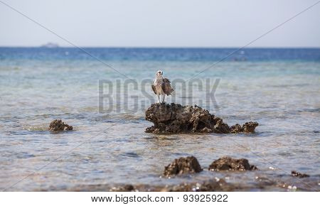 Osprey on the rock