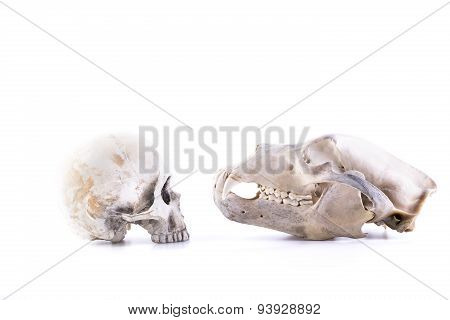 isolated bear and human skull