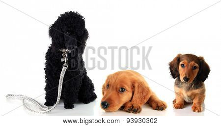 Three puppies, a poodle, a golden retriever and a dachshund. Studio isolated on white.