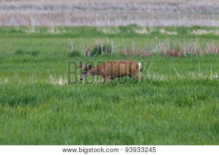 Male Deer in a field