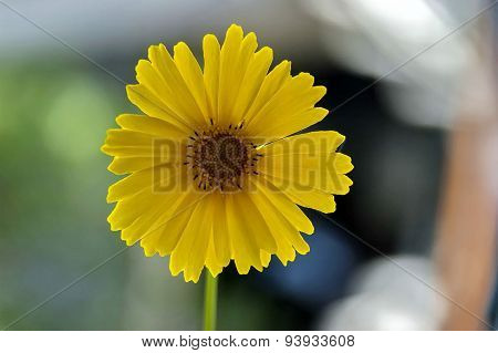 Tickseed or Coreopsis auriculata Nana  flower