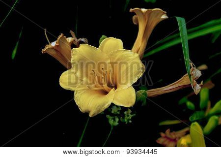 Bundle of yellow daylily or Lilium flower