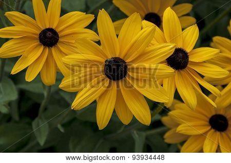 Black-eyed susans rudbeckia hirta flowers