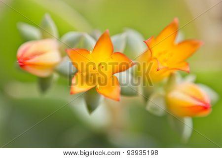 Flowers Crassulaceae