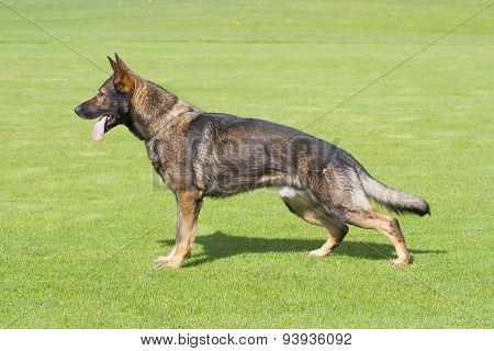 German Shepherd Dog Is Standing In Profile