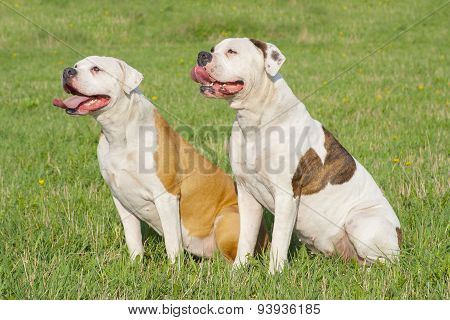 Two American Bulldogs
