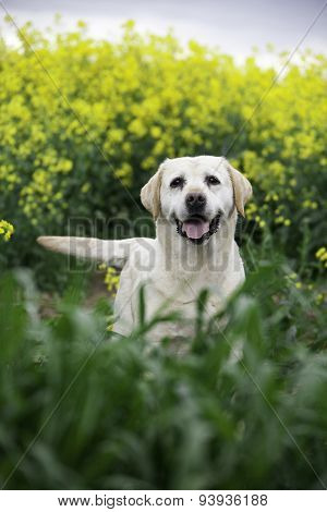 Labrador Retriever Dog On The Nature