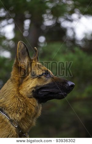 German Sheepdog Portrait