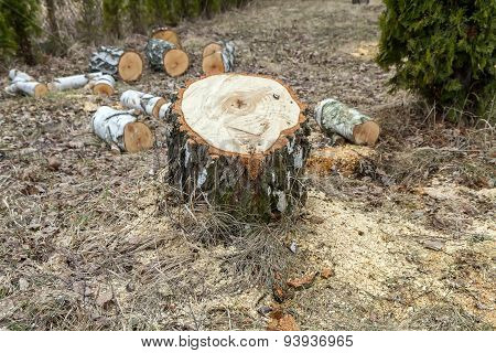 Sawdust Around The Stump