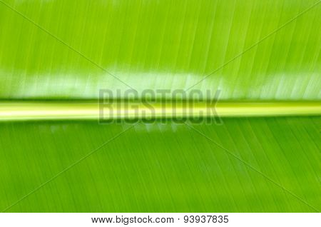 Close Up Green Banana Leaf Background Texture