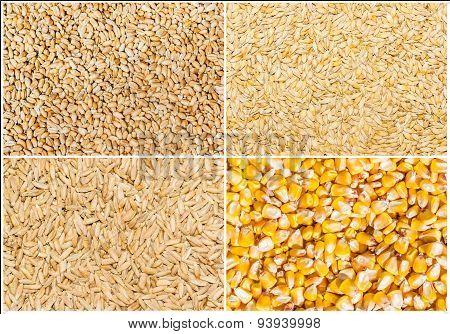 Grain Of Wheat, Barley, Rye And Corn
