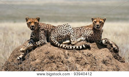 Cheetahs sitting on a termite mound.