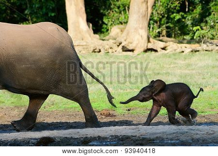 The small elephant calf runs for mum, trying to seize its tail