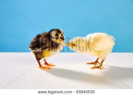chicks couple yellow and black on table with blue background