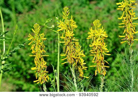 Asphodeline is a genus of perennial plants in the family Xanthorrhoeaceae.