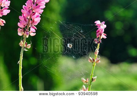 Cobweb on a flower Lupin.
