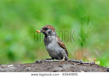 The Eurasian tree sparrow, young bird, chick.