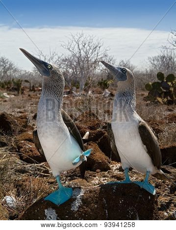 Marriage dances of Blue-footed Booby