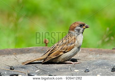 The Eurasian tree sparrow,young bird, chick.