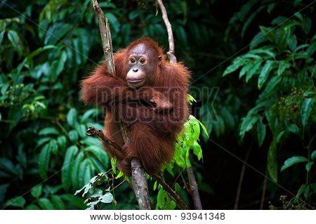 Young Orangutan . Pongo pygmaeus wurmbii