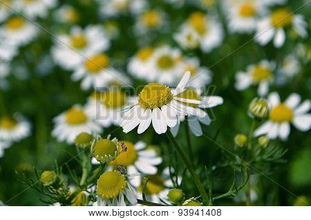 White daisies. Chamomile.