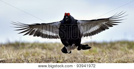 Portrait of a lekking black grouse (Tetrao tetrix) .
