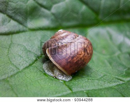 Snail fruticicola