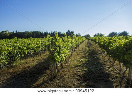 Mediterranean  Vineyard