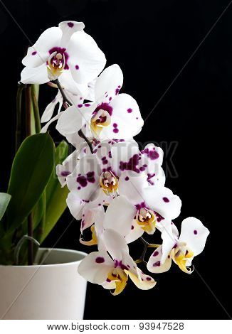 Orchid Phalaenopsis White Flower