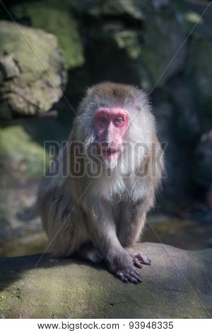 red faced monkey sitting on a stone