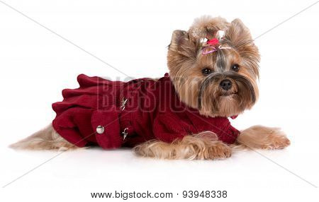 yorkshire terrier dog in a dress