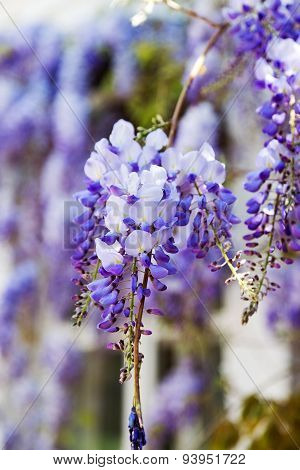 Abundantly Flowering Wisteria, Clusters Of Blue Flowers Hang Down To The Ground, Blurred Background.
