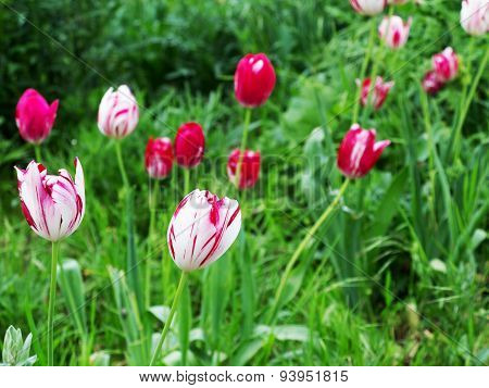 Beautiful Bright Red And White Tulips. Soft Selective Focus.