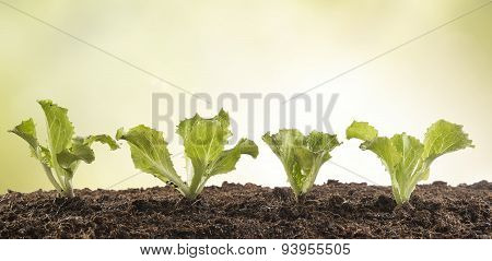 A Row Of Lettuce Seedlings In The Garden