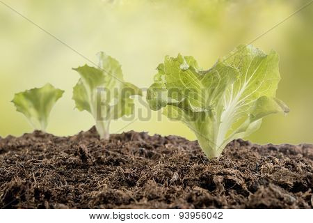 Lettuce Seedlings In The Garden