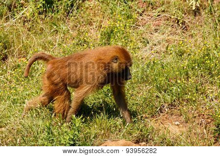 Young Guinea baboon