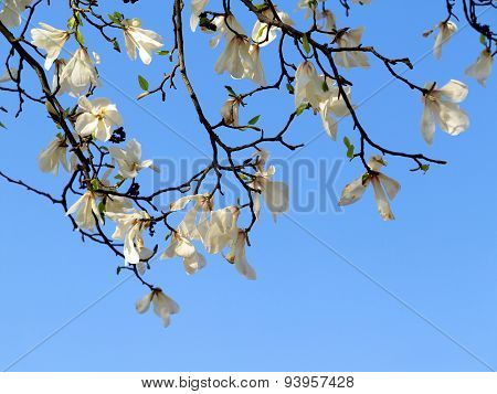 Authentic Landscape Magnolia Flowers Against The Sky, Backlit, As A Backdrop For The Staging Of Prom