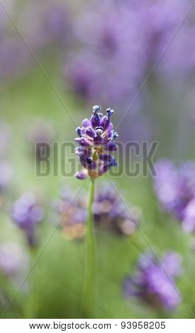 Purple lavender flower at Lavender Field in the summer