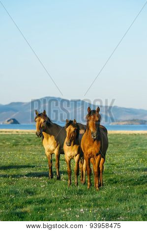 Three Horses. Horse In The Nature Reserve Of Lake Baikal
