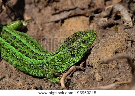 Green Lizard Stalking Among Stones, Fallen Leaves And Twigs, Side Twist View