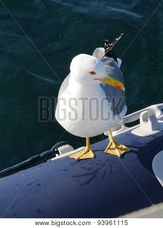 A seagull on a tender in a Croatian bay