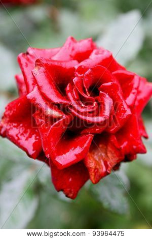 Beautiful Bright Red Roses With Drops Of Water After Rain. Soft Selective Focus.