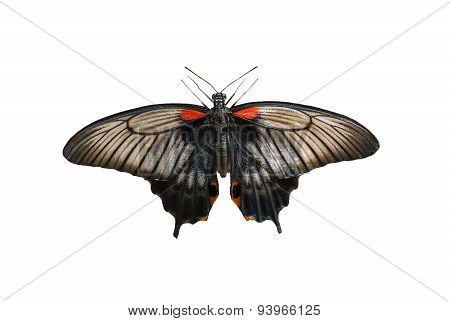 Female of Great mormon butterfly isolated on a white background