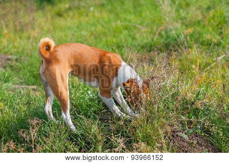 Basenji dog hunting for rodent